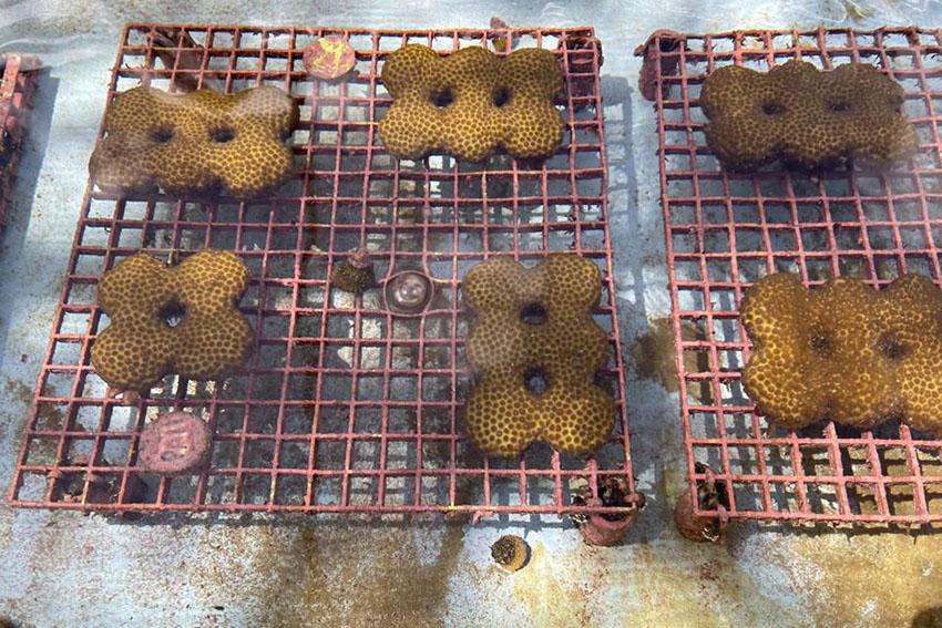 برنامه کاشت مرجان های مقاوم کیش